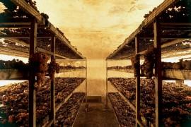 Cantina di Montecarotto - Appassimento con Muffa Nobile