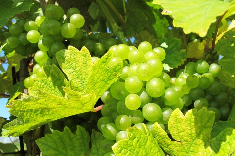 Grapes_in_Pálava_region_(1)